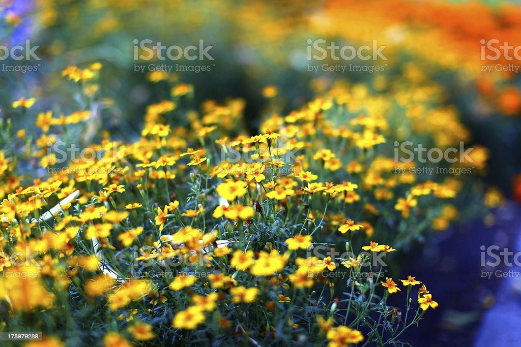 Field of beautiful yellow marigold flowers stock photo