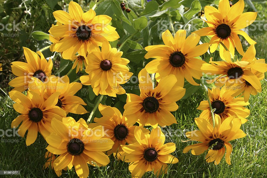 Field of Black-Eyed Susan royalty-free stock photo
