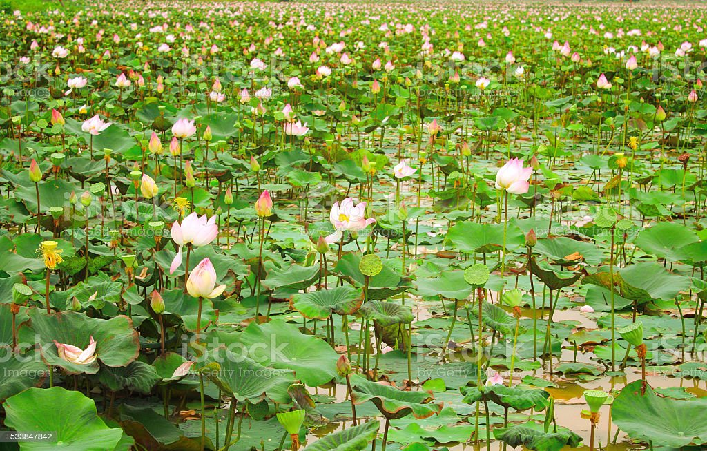 Field of blooming lotus flower, Cambodia stock photo