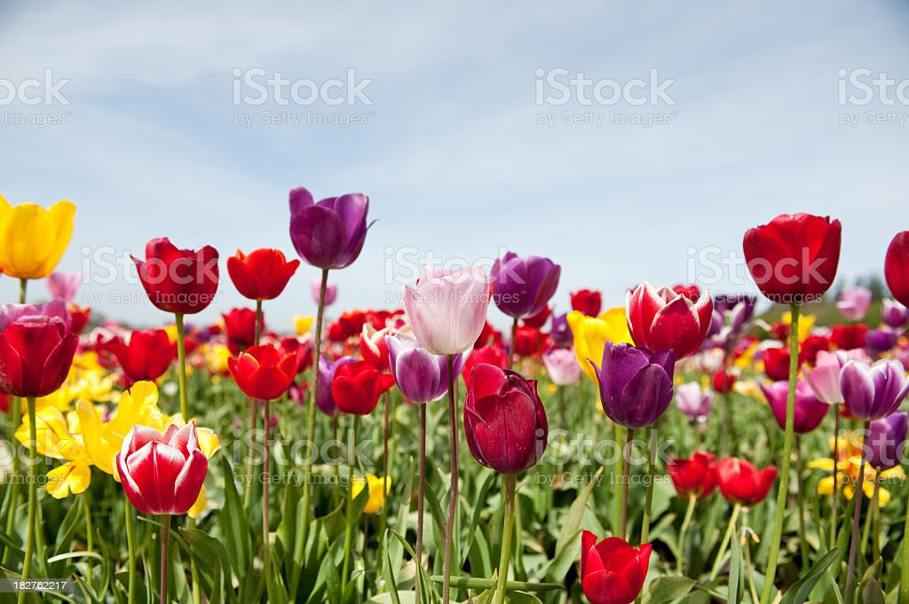 Field of blooming multi-colored tulips royalty-free stock photo