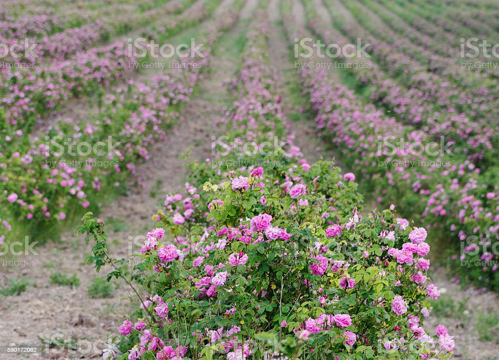field of blooming pink damask roses at Bakhchisaray, Crimea stock photo