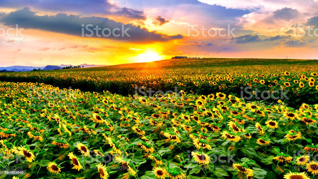 Field of blooming sunflowers . stock photo