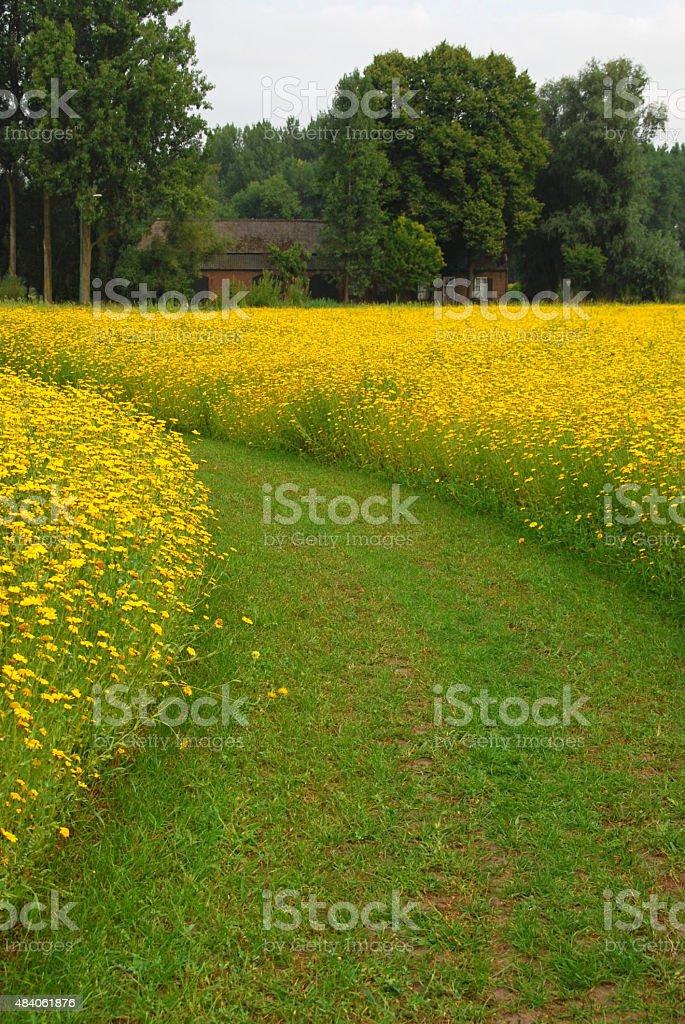 Field of blooming yellow Chrysanthemum stock photo
