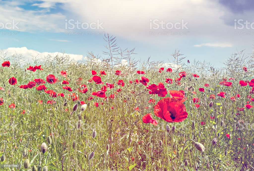 Field of blossoming poppies stock photo