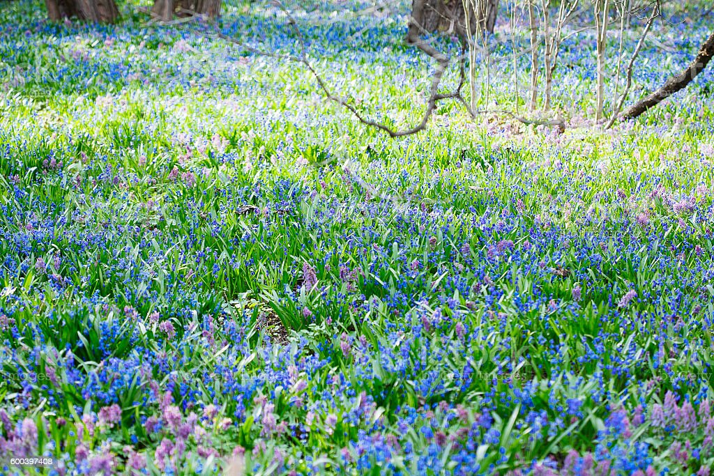 Field of blue (Scilla sibirica) and violet (Hollowroot, Corydali stock photo