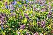 Field of blue (Scilla sibirica) and violet (Hollowroot, Corydali