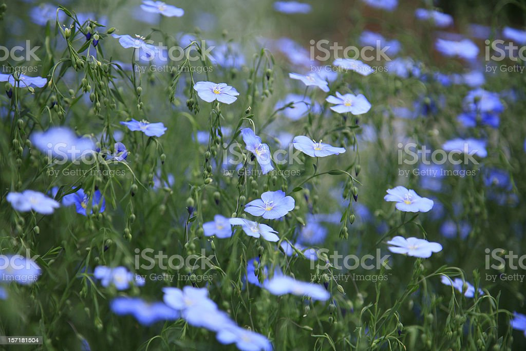 Field Of Blue Flax In The Country stock photo