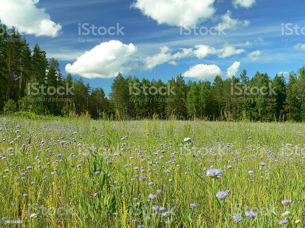 Field of blue flowers royalty-free stock photo