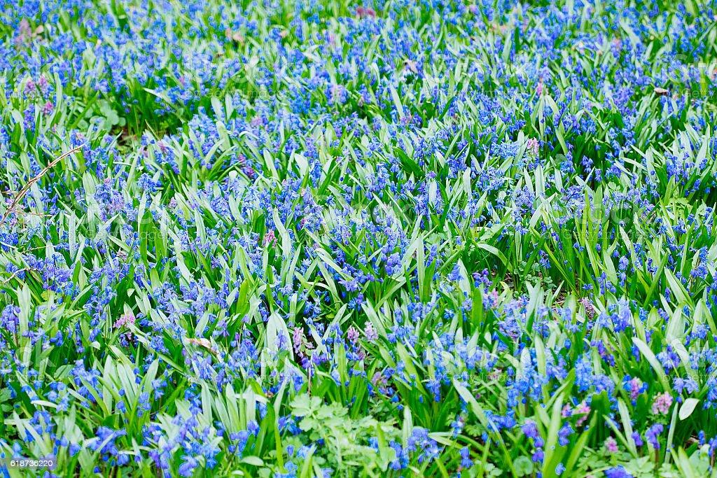 Field of blue (Scilla sibirica)  spring flowers. stock photo