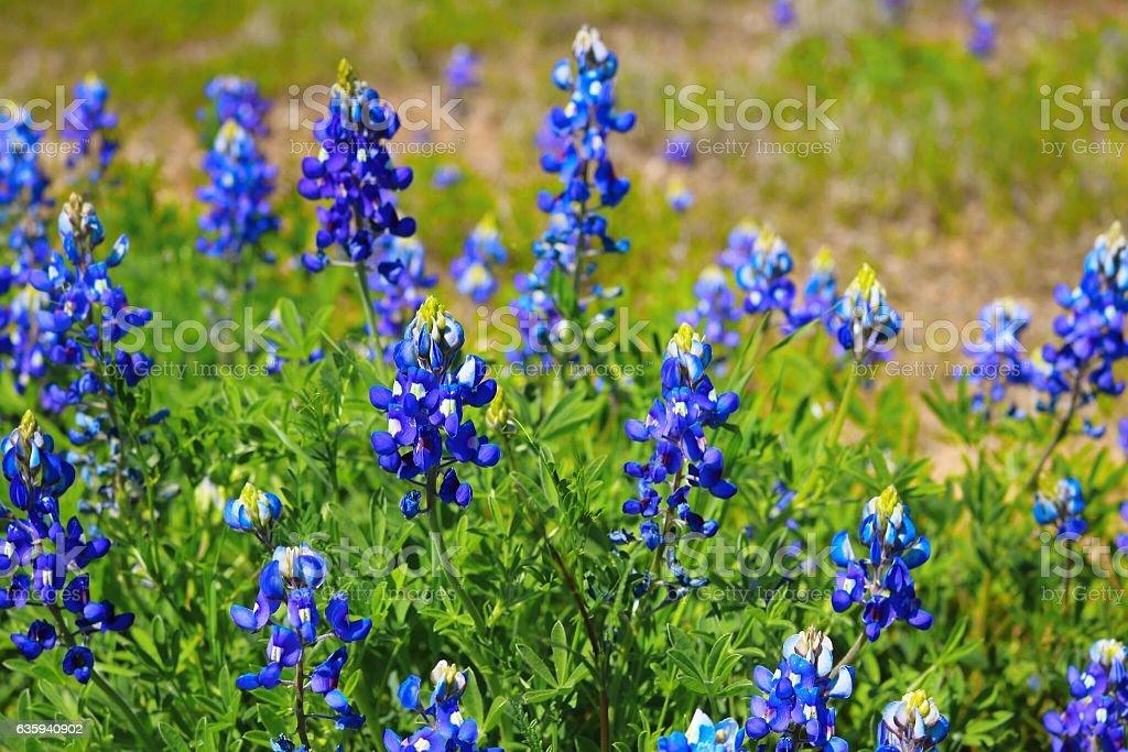 Field of Bluebonnets stock photo