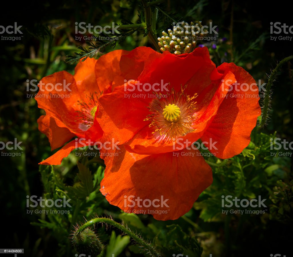 A field of bright, red poppies and wild flowers stock photo