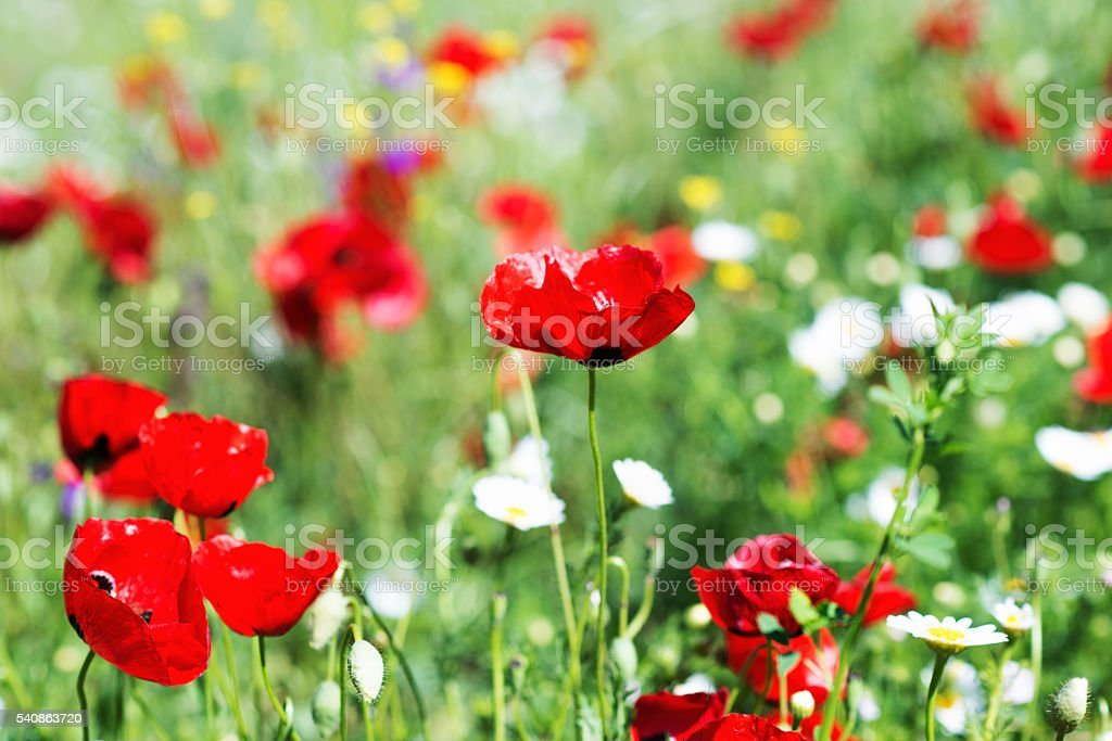 Field of bright red poppy flowers. stock photo