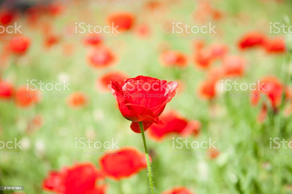 Field of bright red 'Remembrance Poppy' flowers.  Memorial Day. stock photo