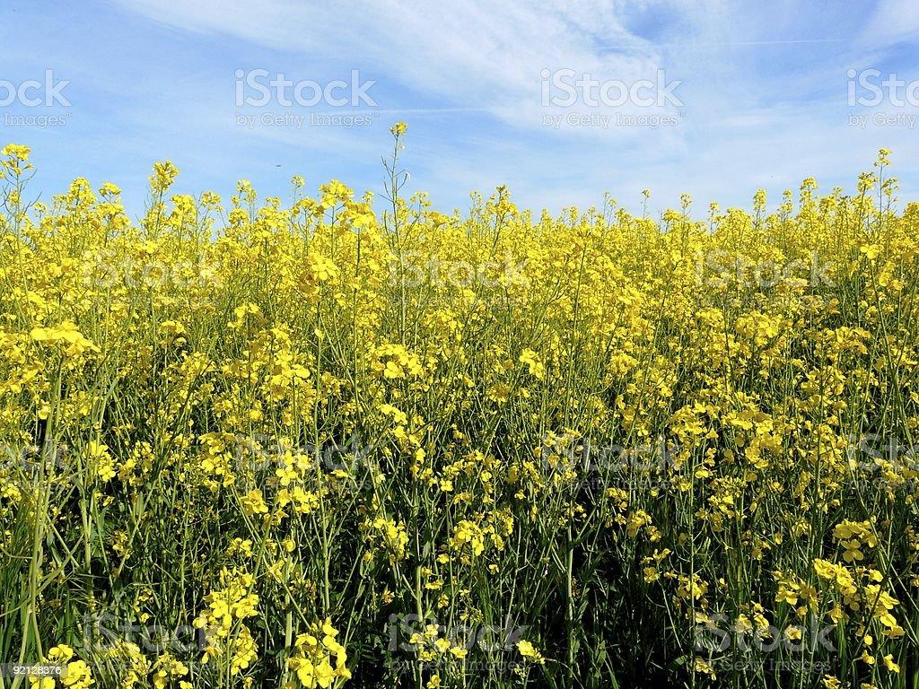 Field of bright yellow canola royalty-free stock photo
