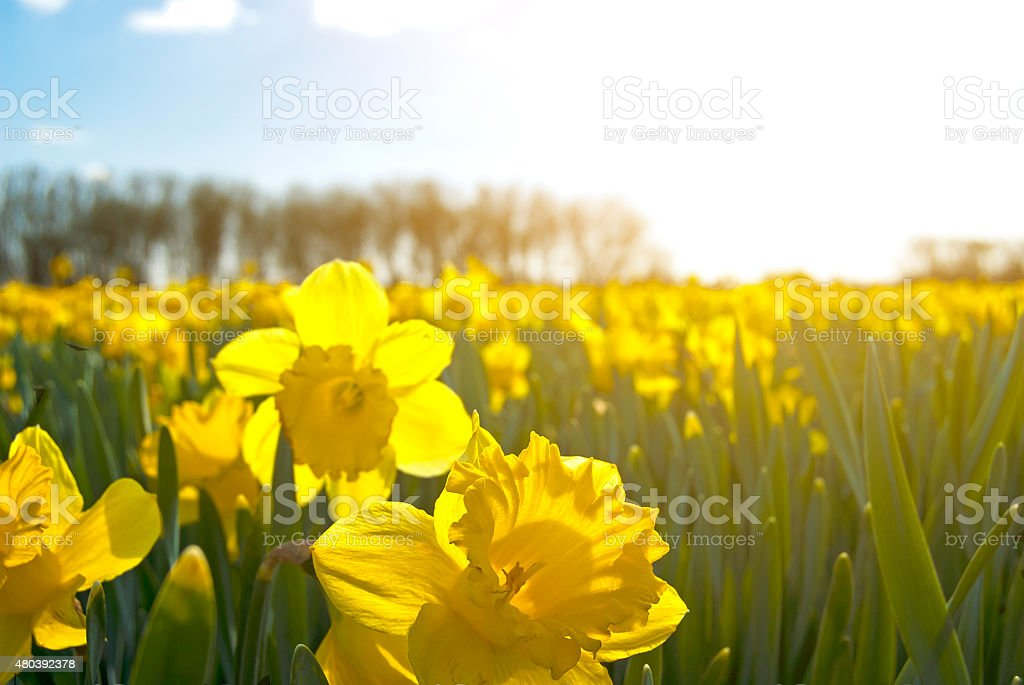 field of bright yellow daffodils stock photo