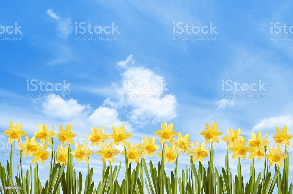 Field of bright yellow spring daffodils against a blue sky royalty-free stock photo