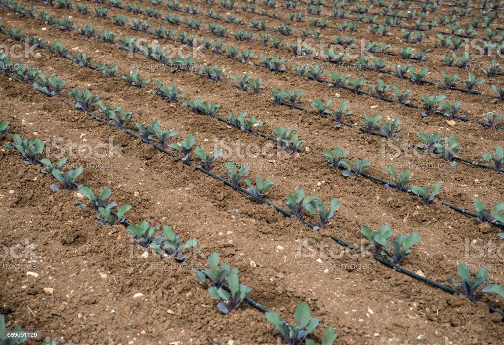 Field of Broccoli stock photo