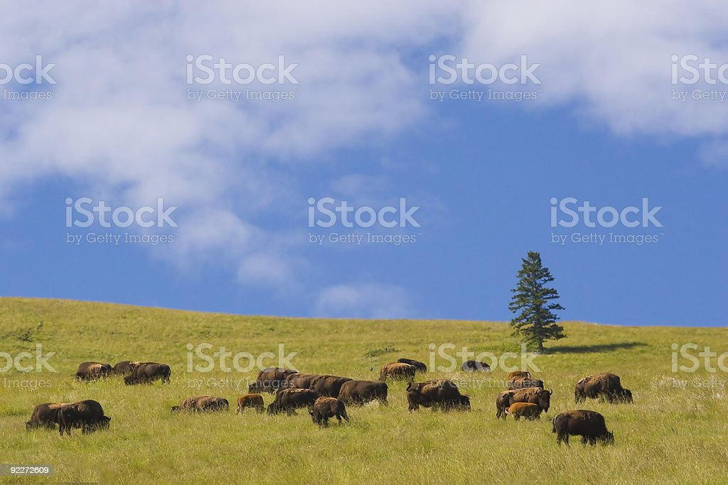 A field of buffalo at the National Bison Range in Montana stock photo