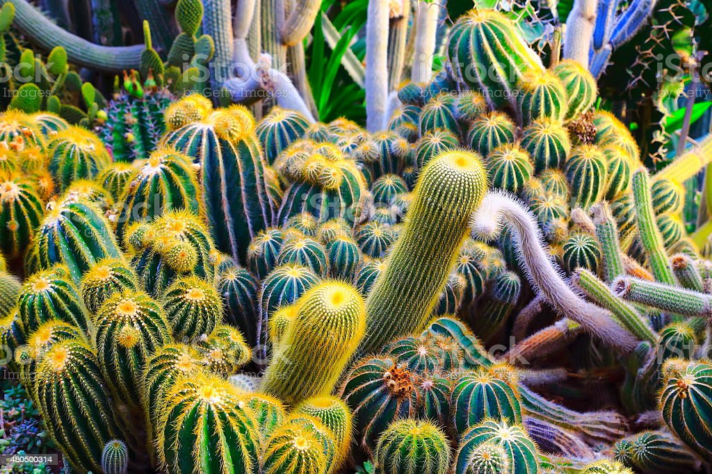 Field of Cactus - green cactus pattern in the desert stock photo