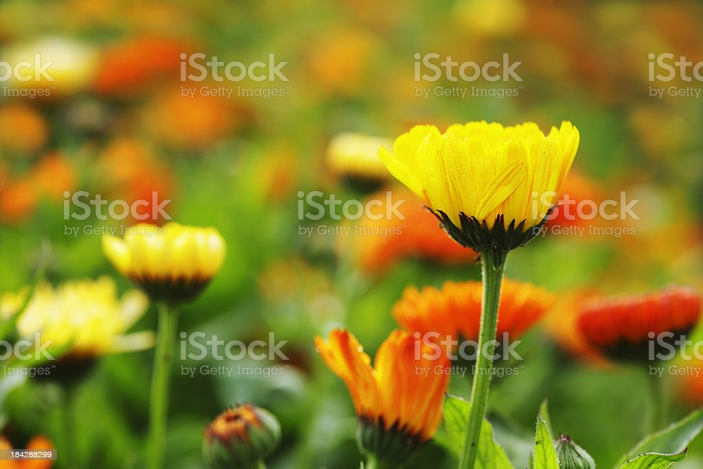 Field of Calendula Officinalis Flowers royalty-free stock photo