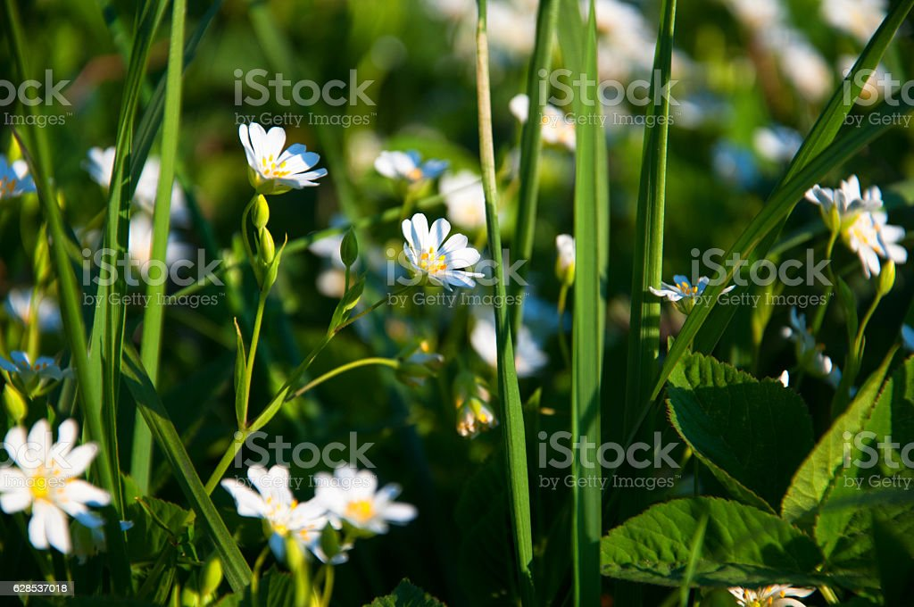 Field of camomile in spring stock photo