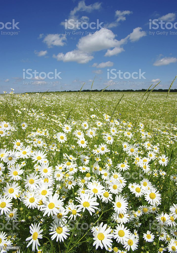 field of camomiles royalty-free stock photo