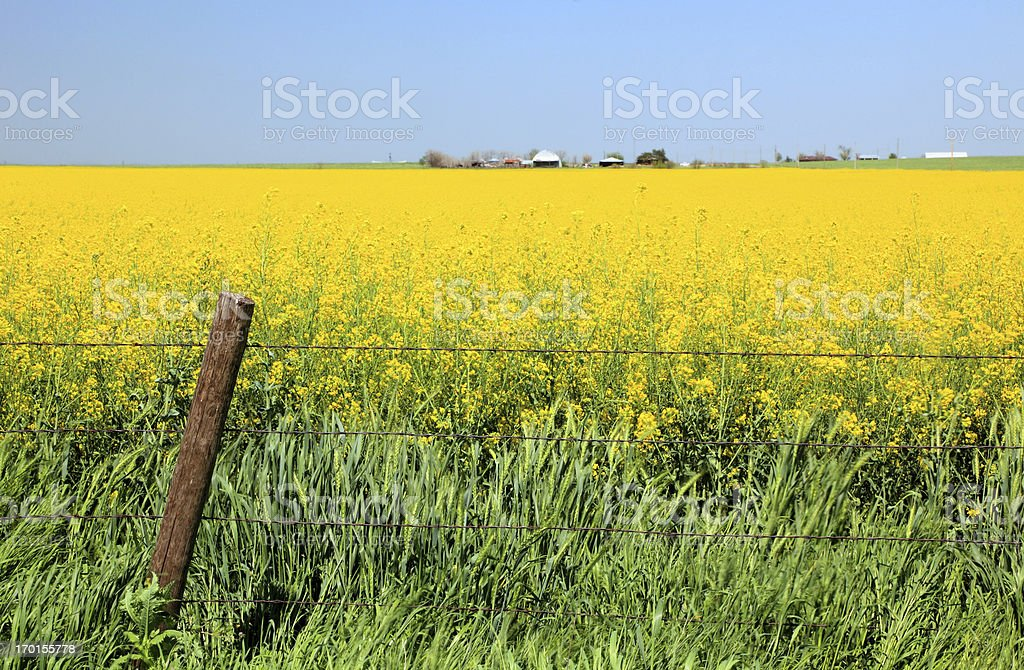 Field of Canola and Wheat with fence stock photo
