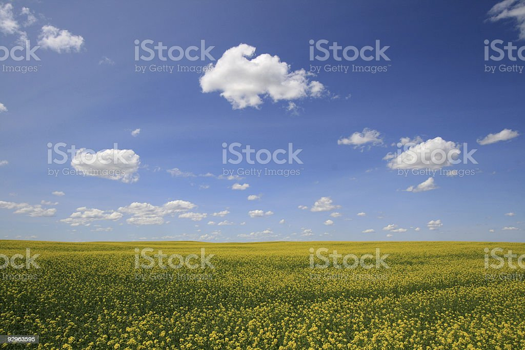 Field of Canola royalty-free stock photo