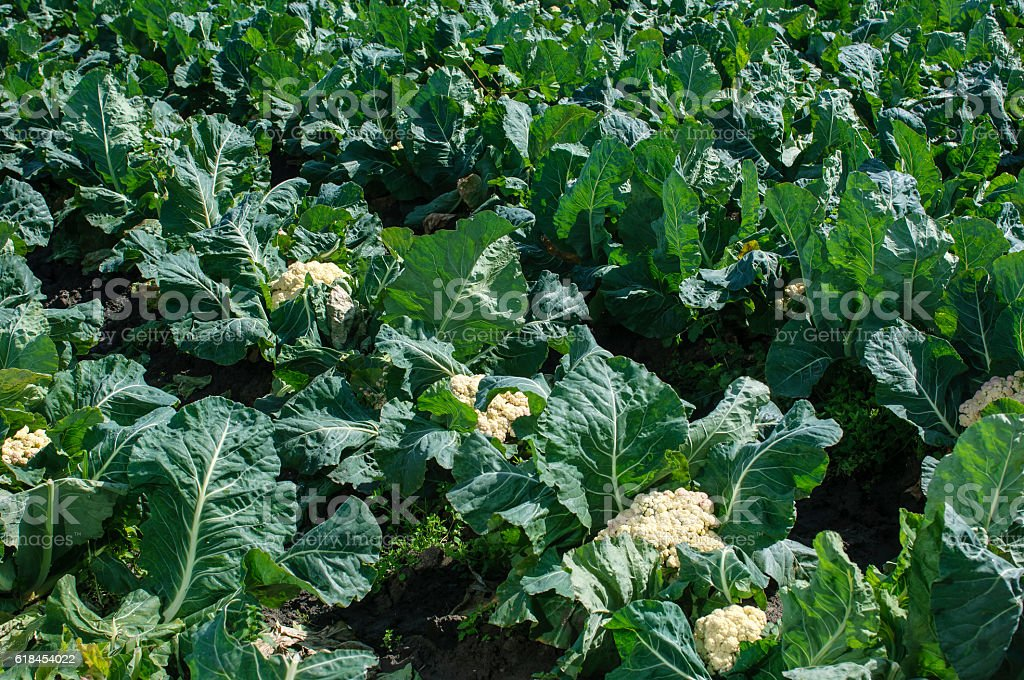 Field of Cauliflower Plants Growing on Farm stock photo