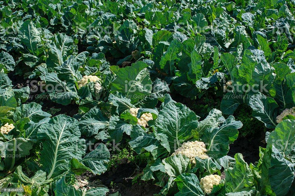 Field of Cauliflower Plants Growing on Farm stock photo