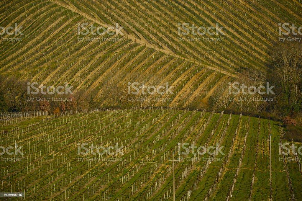 Field of Chianti vineyard stock photo