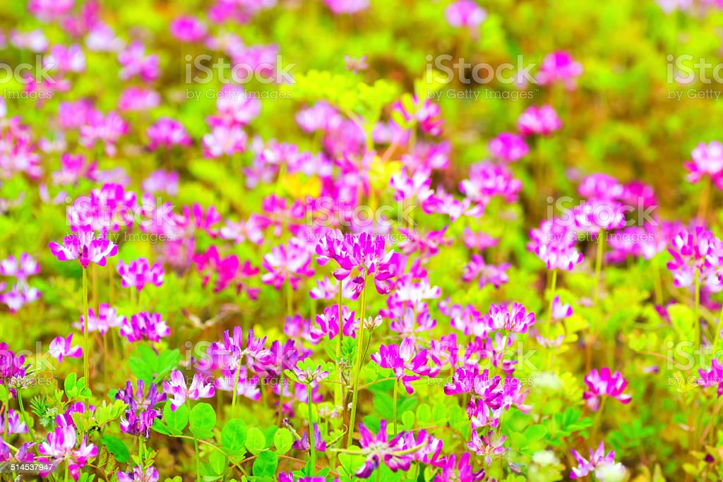 Field of chinese milk vetch, Astragalus sinicus, blooming stock photo