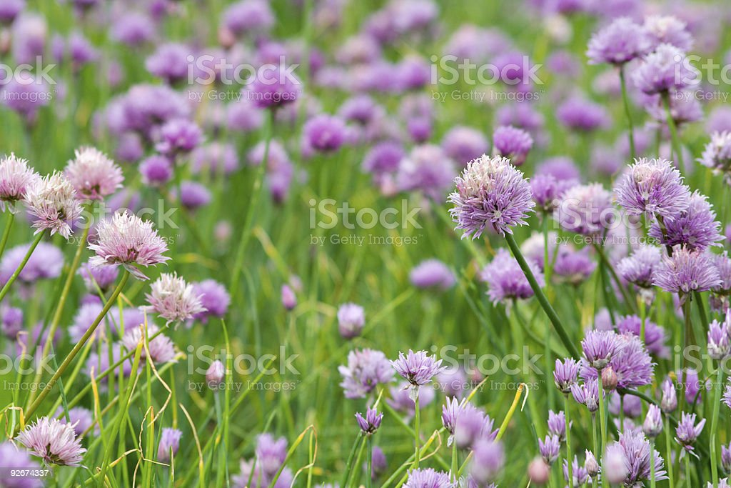 Field of chives stock photo