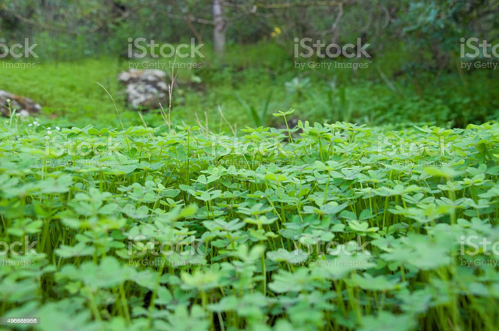 Field of Clovers stock photo