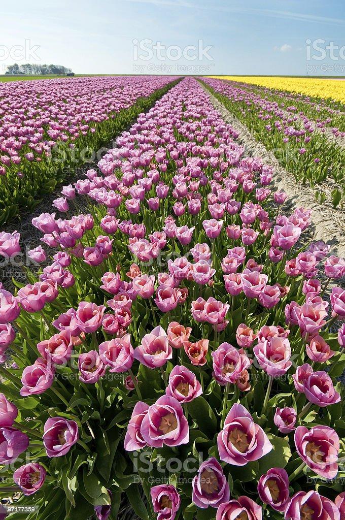 Champ de tulipes de couleur photo libre de droits