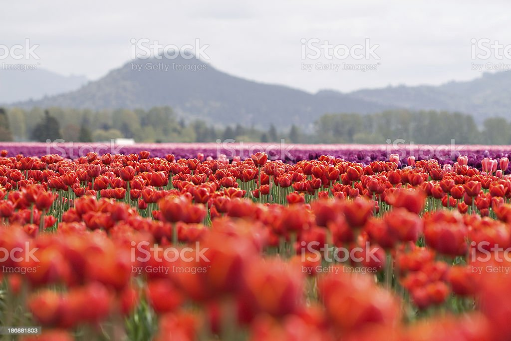Field of colorful tulips stock photo