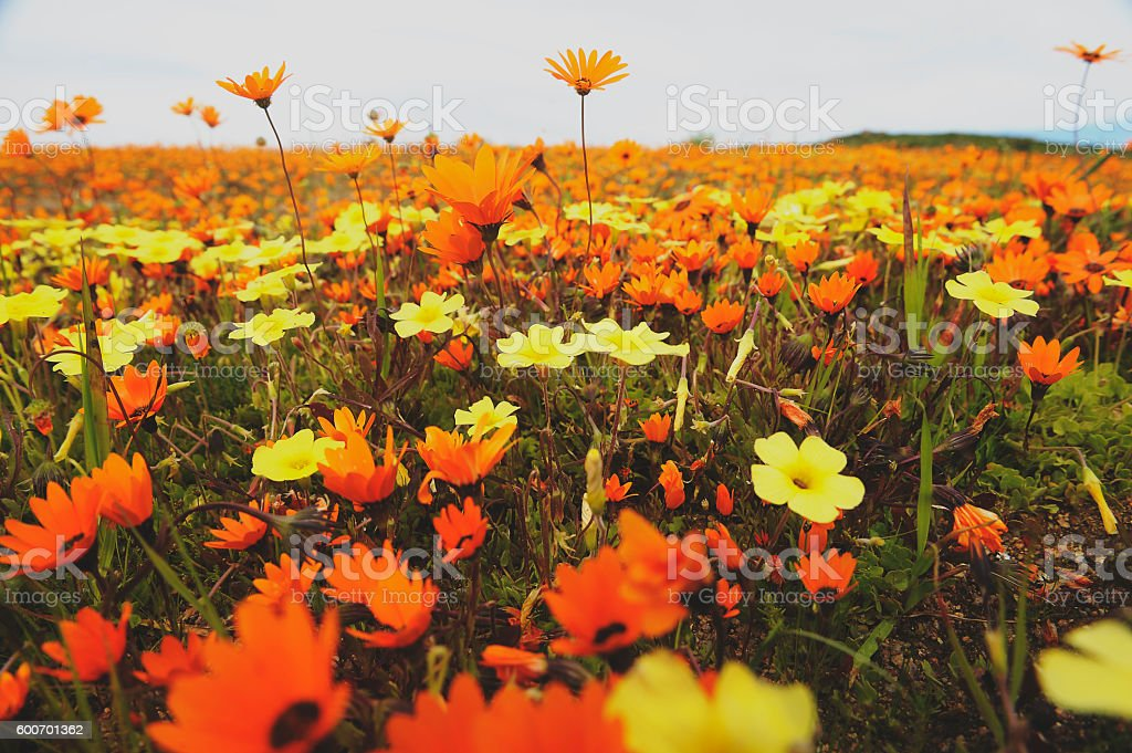 Field of colourful flowers in a Namaqualand, South Africa stock photo