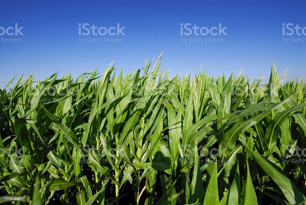 Field of corn royalty-free stock photo