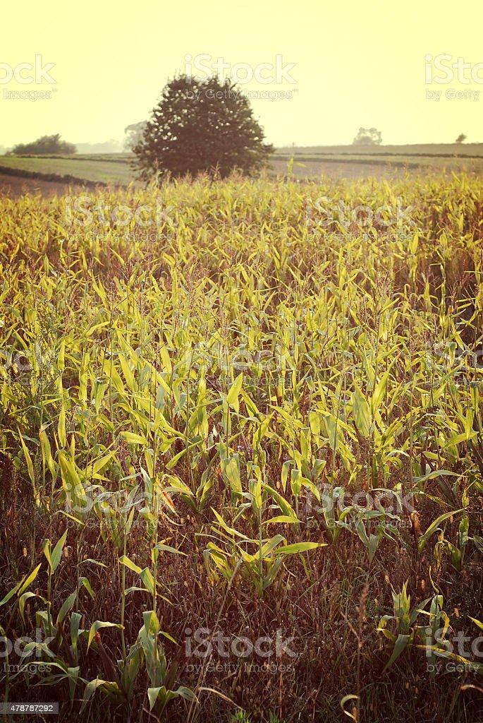 Campo de maíz foto de stock libre de derechos