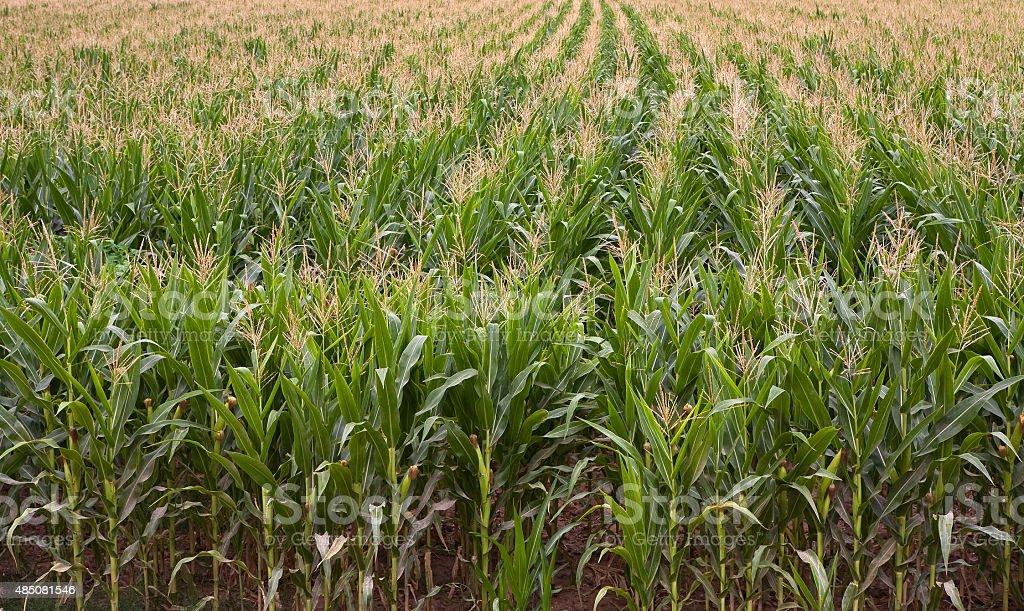 Field of Corn stock photo