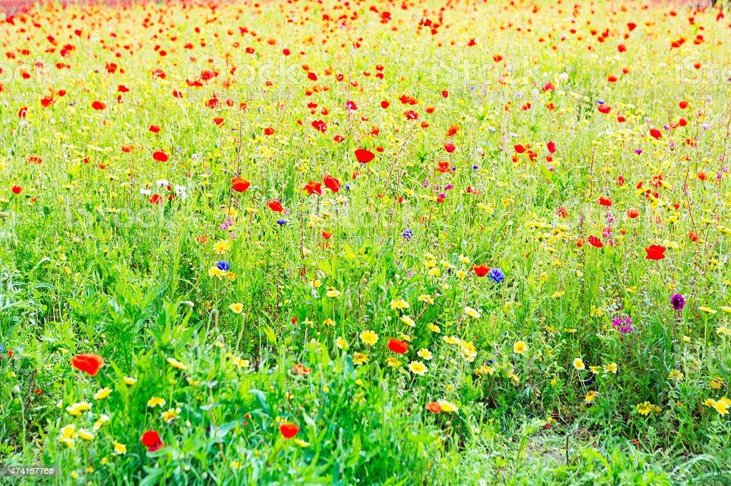 Field of Corn Poppy stock photo