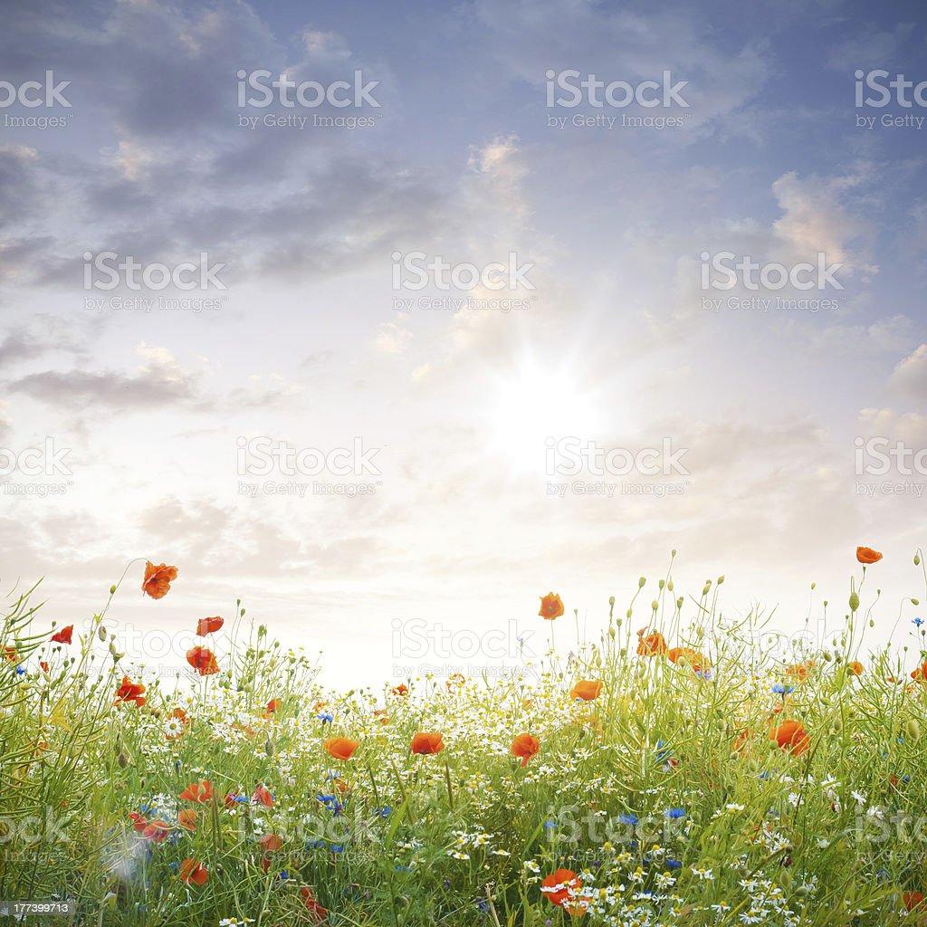 Field of corn poppys under beautiful sky royalty-free stock photo