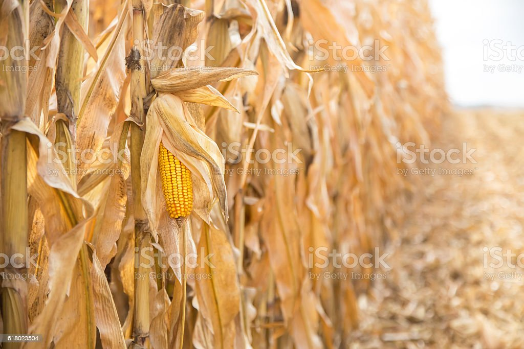Field of Corn Ready for Harvest stock photo