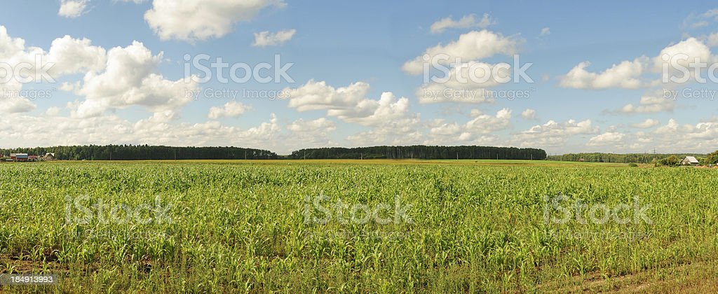 Field of corn with forest behind. royalty-free stock photo