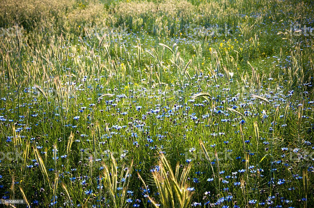 Field of cornflowers in spring stock photo