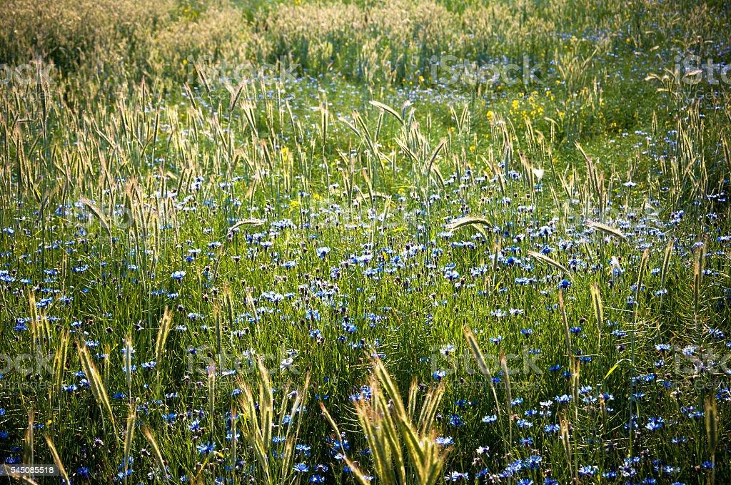 Field of cornflowers in spring stock photo