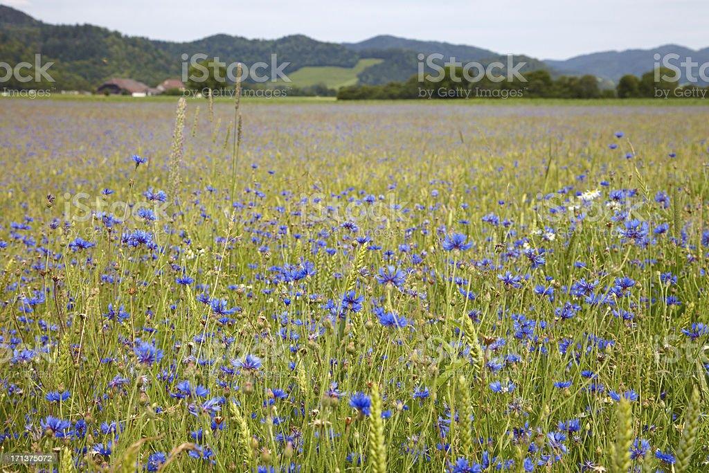 Field of cornflowers royalty-free stock photo