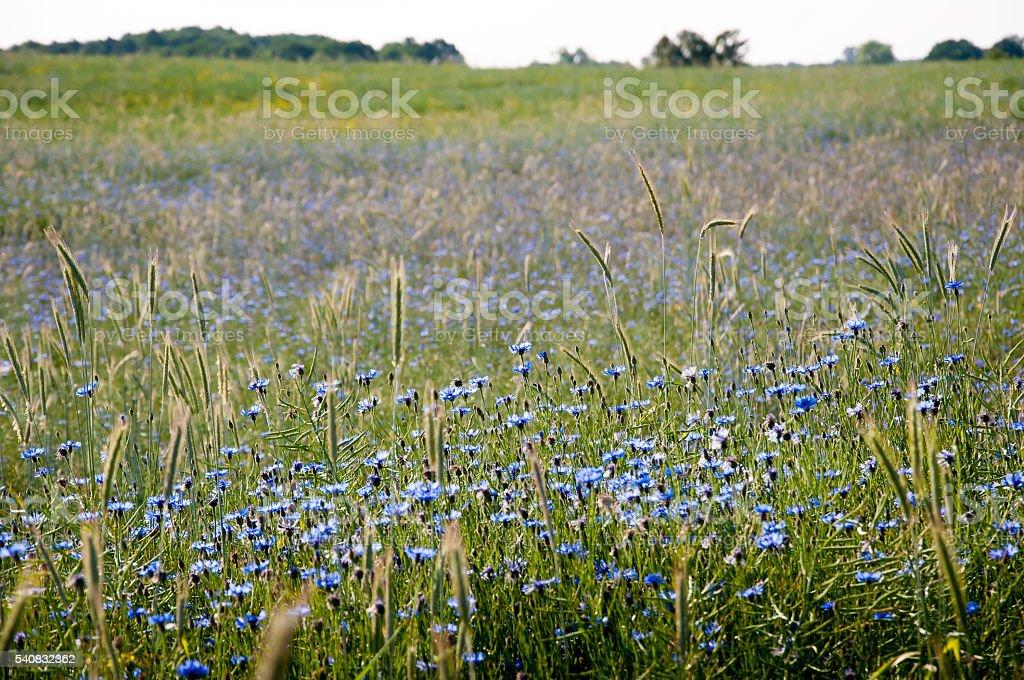 Field of cornflowers stock photo