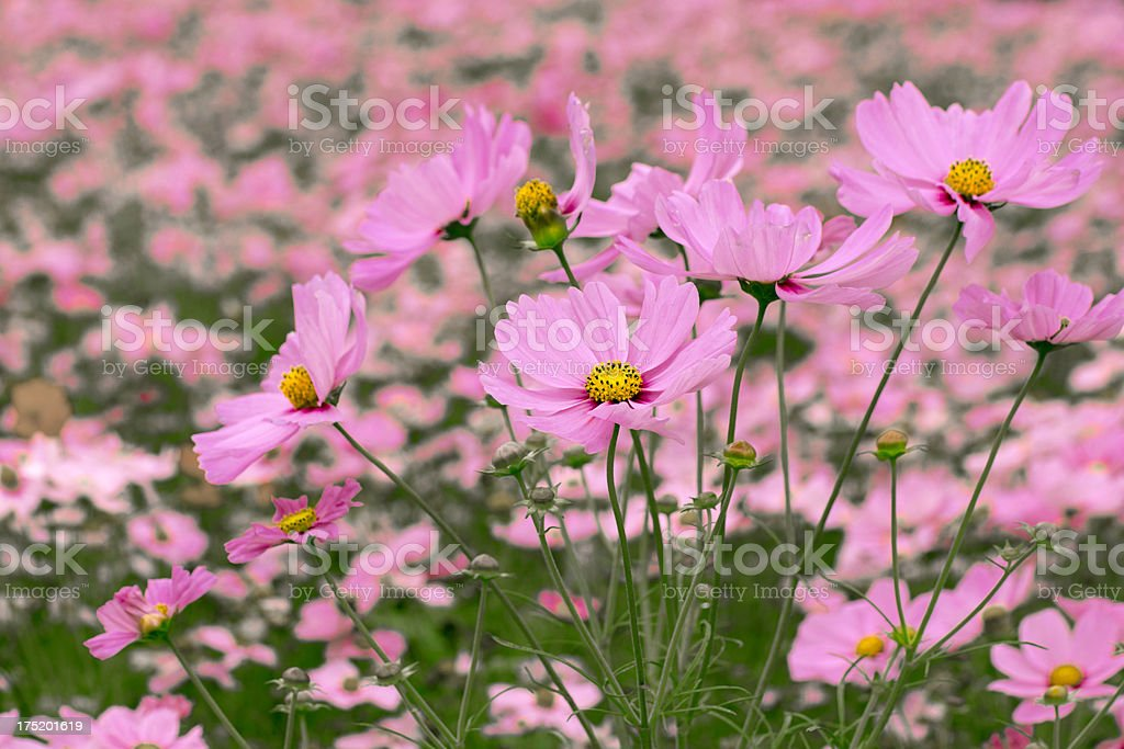 Field of Cosmos Flowers royalty-free stock photo