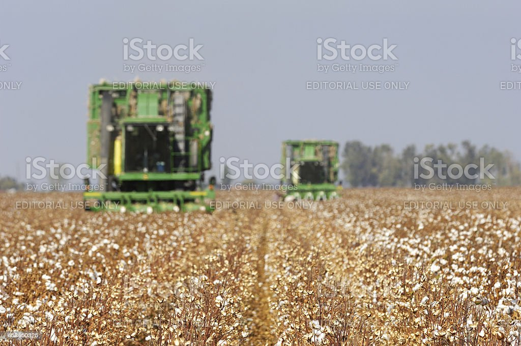 Field of Cotton Being Harvested stock photo